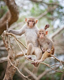 Monkeys. The macaques constitute a genus (Macaca) of Old World monkeys of the subfamily Cercopithecinae. The twenty-two species of macaques are widespread over Royalty Free Stock Photos