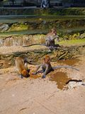 Monkeys at the Malaysian Batu Caves Stock Image