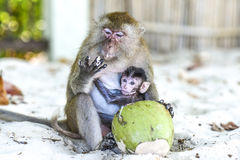 Monkeys mama and baby eating on a a beach, Thailand. Stock Photography
