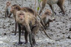 Monkeys in the mangrove forest. Monkeys in the mangrove forest at Thailand stock photography
