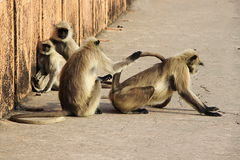 Monkeys in Many Moods. Different activities and moods of two pairs of monkeys Royalty Free Stock Photography