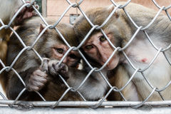 Monkeys in a monkey house in Sukhumi, Abkhazia Royalty Free Stock Image