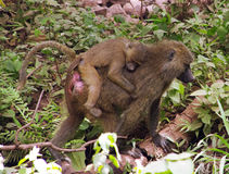 Monkeys. Monkey -Mom carries on the back of his sleeping baby Royalty Free Stock Photo