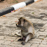 Monkeys. Monkey resting on the side of the road,eat some fruits Royalty Free Stock Photo
