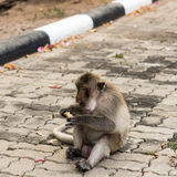 Monkeys. Monkey resting on the side of the road,eat some fruits Stock Images
