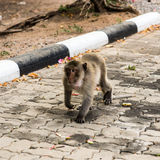 Monkeys. Monkey resting on the side of the road,Portrait of macaque monkey with leaves in forest path Stock Images
