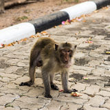 Monkeys. Monkey resting on the side of the road,Portrait of macaque monkey with leaves in forest path Royalty Free Stock Image