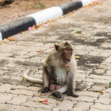 Monkeys. Monkey resting on the side of the road,Portrait of macaque monkey with leaves in forest path Royalty Free Stock Photography