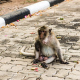 Monkeys. Monkey resting on the side of the road,Portrait of macaque monkey with leaves in forest path Royalty Free Stock Images