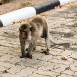 Monkeys. Monkey resting on the side of the road,Portrait of macaque monkey with leaves in forest path Stock Photo