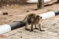 Monkeys. Monkey resting on the side of the road,Portrait of macaque monkey with leaves in forest path Stock Image