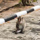 Monkeys. Monkey resting on the side of the road,Portrait of macaque monkey with leaves in forest path Royalty Free Stock Photo
