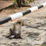 Monkeys. Monkey resting on the side of the road,Portrait of macaque monkey with leaves in forest path Stock Photos