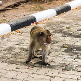 Monkeys. Monkey resting on the side of the road,Portrait of macaque monkey with leaves in forest path Royalty Free Stock Photos
