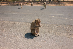 Monkeys. Monkey siting and eating banana on the road Royalty Free Stock Photography
