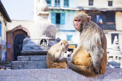 Monkeys at Monkey Temple, Kathmandu, Nepal Stock Images