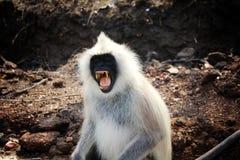 Monkeys. Bandipur, wildlife, awesome, beautiful Stock Images