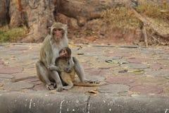 Monkeys. In Thailand Royalty Free Stock Photo