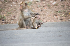 Monkeys mother and child Stock Images
