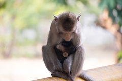 Monkeys mother and child Stock Image