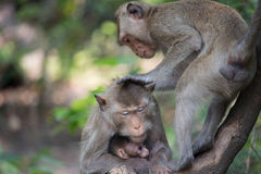 Monkeys mother and child Royalty Free Stock Photo