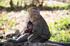 Monkeys mother and child Stock Photos