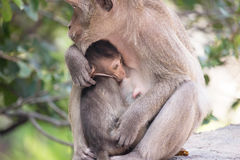 Monkeys mother and child Royalty Free Stock Photography