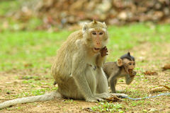 Monkeys in National Park Angkor Wat, Cambodia Royalty Free Stock Photos