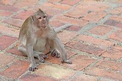 Monkeys in nature. Stock Photos