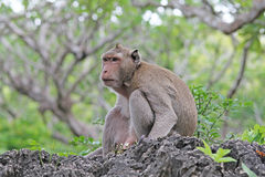 Monkeys in nature. Royalty Free Stock Photography