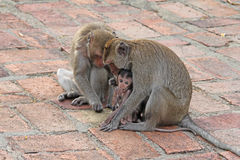 Monkeys in nature. Royalty Free Stock Photos