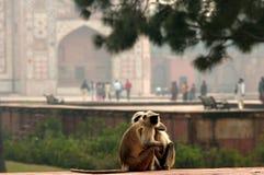 Monkeys near Agra palace. Nice scene of monkeys near palace in Agra area in India royalty free stock photo