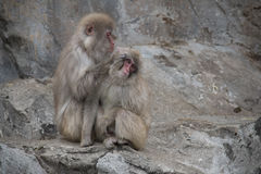 Monkeys in Nogeyama zoo, Japan Stock Photo