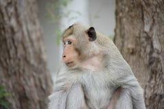 Monkeys o retrato Fotografia de Stock Royalty Free