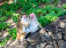 Monkeys in old buddha temple on Sri Lanka Royalty Free Stock Photography
