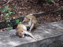 Monkeys` massage. Monkeys are one of the most similar to humans animals stock photos