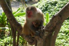 Monkeys outdoors Royalty Free Stock Image