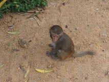 Monkeys outdoors Royalty Free Stock Photo