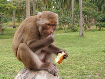 Monkeys outdoors Royalty Free Stock Photos