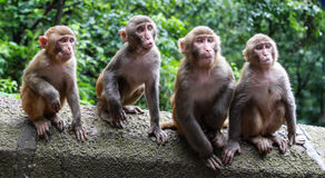 Monkeys in a park,guinzhou province,china Royalty Free Stock Photos