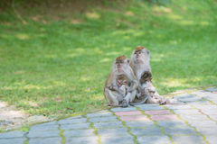 Monkeys at penang botanical garden. Two monkey parents carry their newborn baby at botanical garden, Penang state of Malaysia Royalty Free Stock Photos