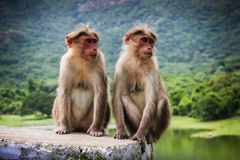 Monkeys. This photo shows two monkeys with beautiful scenery as the background stock photography