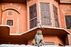 Monkeys of the Pink City, Jaipur, Rajasthan, India. Close-up of monkeys on top of the buildings in Jaipur Stock Images
