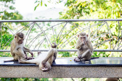 The monkeys during the playful time Royalty Free Stock Image