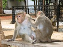 Monkeys playing. Funny monkey playing in a zoo - india stock photos