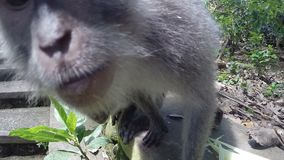 Monkeys are playing with the camera. Two monkeys play with the camera, study it stock footage