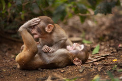 Monkeys playing. The macaques constitute a genus (Macaca) of Old World monkeys of the subfamily Cercopithecinae. The twenty-two species of macaques are Royalty Free Stock Photo