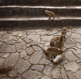 Monkeys playing. Near the cave tamples in Sri Lanka Stock Photography