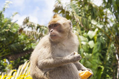 Monkeys playing in the temple in Mauritius Royalty Free Stock Images