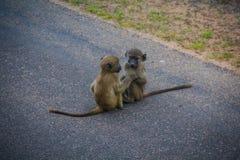 Monkeys playing Royalty Free Stock Photo